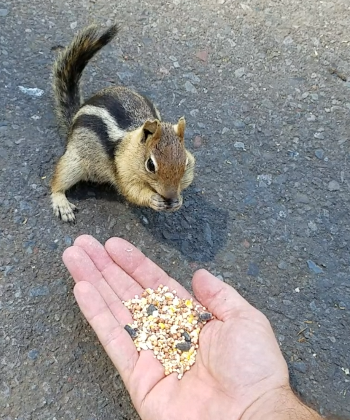 Chipmunk eating out of hand